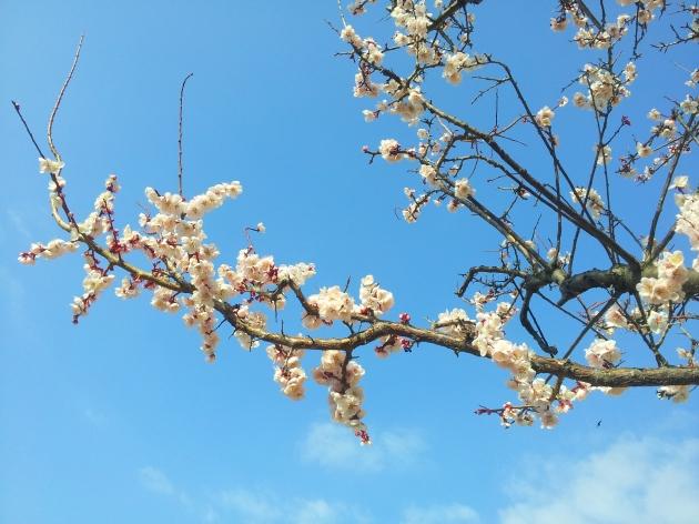 벚꽃와 새